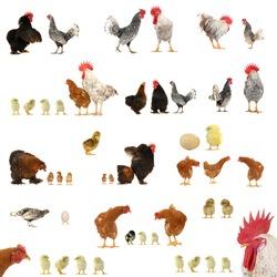 Chicken histories on a white background