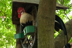 Chicken in an old villages in Vietnam, Duong Lam old villages