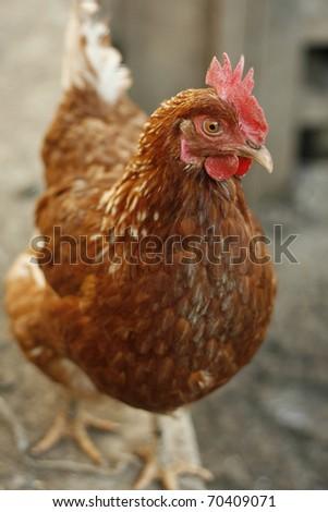 Chicken in farm.