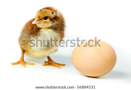 Chicken in studio against a white background. - stock photo