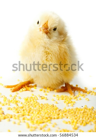 Chicken in studio against a white background.