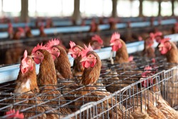 Chicken in the factory, Hens in cages industrial farm in Thailand, Animal and agribusiness, Food production and industry concept