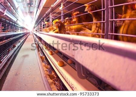 Chicken industrial farm - battery cages