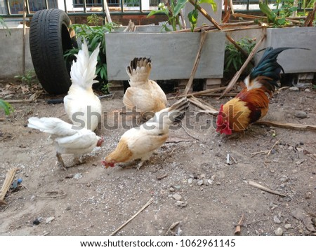 Free Photos Chickens Eating Rice Avopix