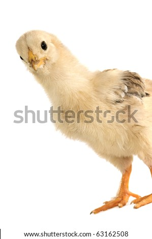 chicken isolated on white background