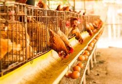 Chicken lay eggs in the chicken farm .