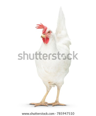 chicken looking close to the floor. isolated on white