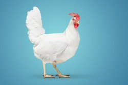 chicken looking close to the floor on blue background