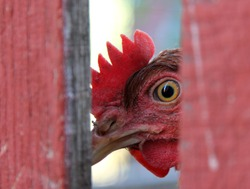 Chicken looking from behind a fence