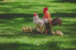 Chicken model, decorated in a garden, summer sculpture in grass. Outdoor statue, chicken family, mother with children