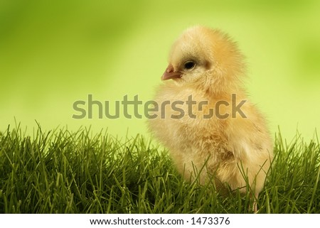 Chicken on grass