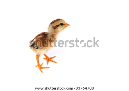 Chicken on isolated white background