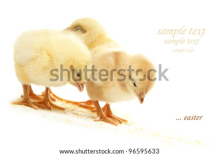 chicken on white background eating