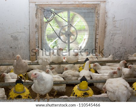 Chicken . Poultry farm - stock photo