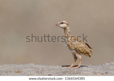 Chicken See-see partridge