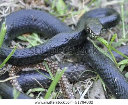 Chicken Snake Stock Photo 51984082 : Shutterstock