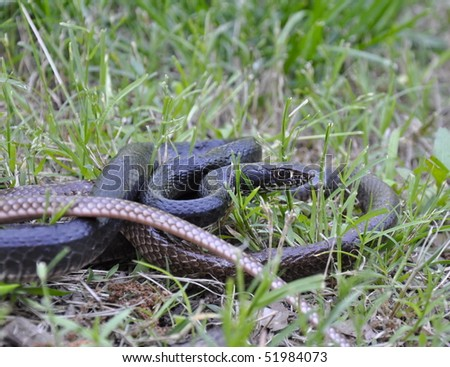 Chicken snake coiled in grass