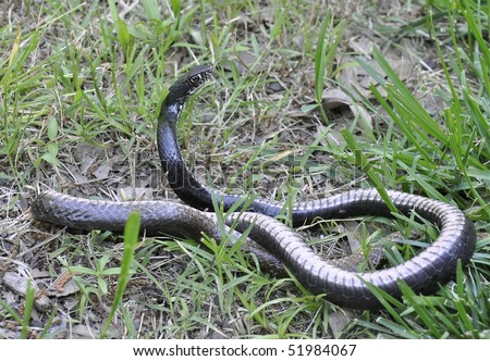 Chicken Snake In Grass Stock Photo 51984067 : Shutterst
