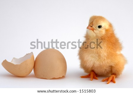 chicken that finishes being born
