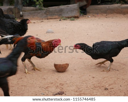 Chickens and hen eating food,Thailand. #1155746485