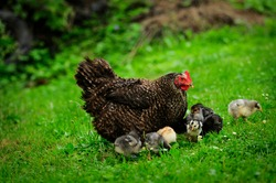 Chickens and hen eating seeds