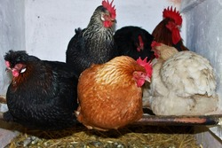 chickens at their roosting place in the stable/roosting partridge/different colored chickens at the roosting site
