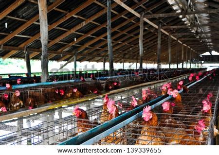 Chickens eggs on the  local farm, Thailand.
