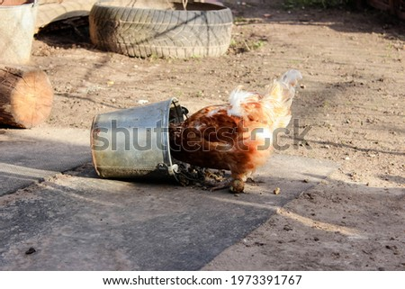 Chickens in a chicken coop in the countryside in the open air. Chickens on the farm on a sunny day. Chicken eats grain from a feeding trough. Homemade rural chickens. High quality photo