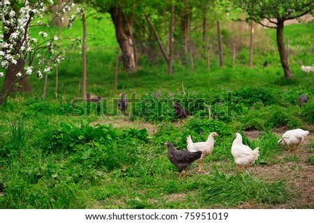 Chickens in green grass. Shallow DOF, focus on front chickens.