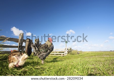chickens in summer on a farm with a blue sky and green grass