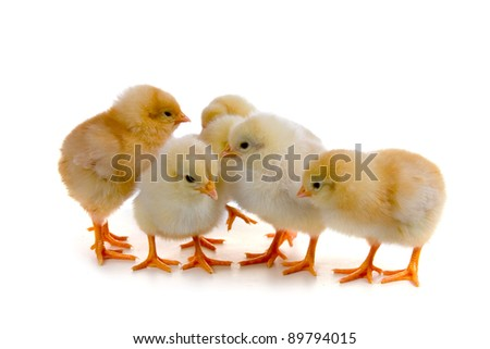 Chickens isolated on a white background