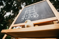 Chickens learn math, animal school