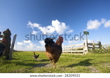 chickens on a farm in summer on a sunny day