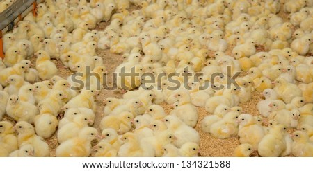 Chickens. Poultry farm