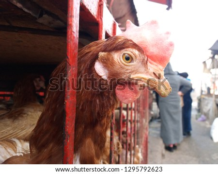 Chickens red ,hens in Livestock cages , close-up - Image