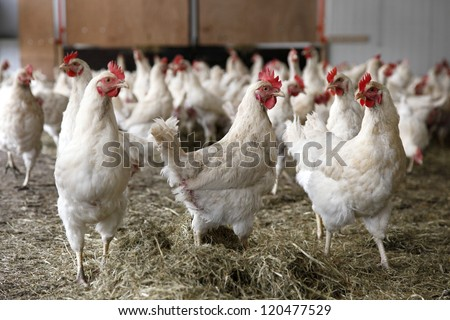 chickens walking around in barn with hay
