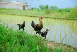 chickens walking in the middle of rice fields