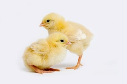 CHICKS AGAINST WHITE BACKGROUND , domestic chicken