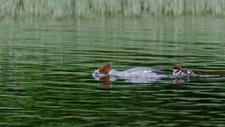 Chicks and mother, common merganser, (Mergus merganser) swimming in the lake. Green background with copy space and place for text.