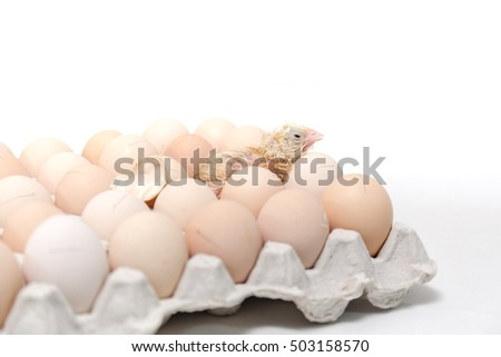 Chicks hatched from eggs in egg tray  on white background #503158570