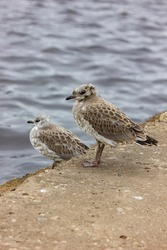 Chicks of seagulls on a pier near the water. Bird and sea close-up. Plumage. Wild birds background.