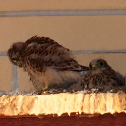 Chicks of the Kestrel. Small falcons against a brick wall. A brood of wild birds. Offspring of a bird of prey. Nest