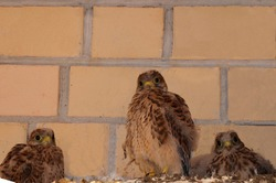 Chicks of the Kestrel. Small falcons near the wall of the house. Wild, small, defenseless, curious, inquisitive birds. A brood of birds of prey in the city. A brood of birds.