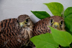 Chicks of the Kestrel. Small falcons near the wall of the house. Wild, small, defenseless, curious, inquisitive birds. A brood of birds of prey in the city. A brood of birds. Close-up.