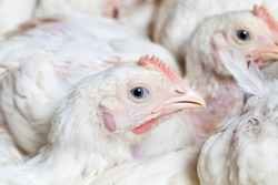 chicks of white broiler chicken at a poultry farm, raised to generate revenue from the sale of quality poultry meat chicken, genetically improved broiler breed of chickens