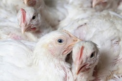 chicks of white broiler chicken at a poultry farm, raised to generate revenue from the sale of quality poultry meat chicken, genetically improved broiler breed of chickens, closeup