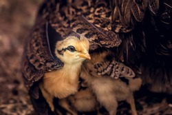 Chicks with their mom