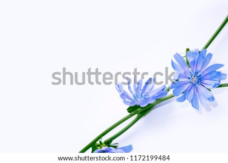 Chicory flower with leaf isolated on white background