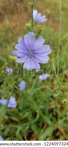 Chicory purple wildflower
