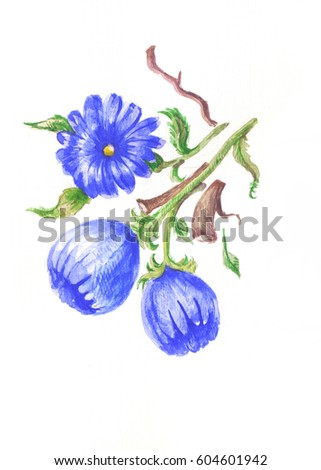 Chicory watercolor, blue flowers painted by hand, isolated on white illustration. Sketch of herb